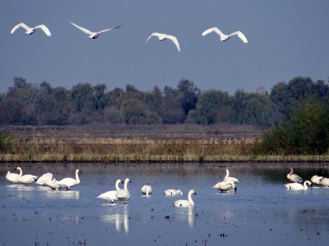 Mathews Lane: Cygnus columbianus (tundra swans)