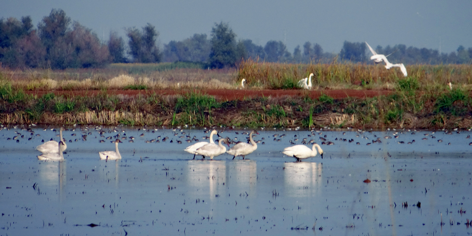 Mathews Lane: Cygnus columbianus (tundra swans) and unidentified birds
