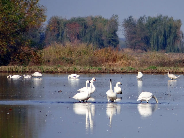 Mathews Lane: Cygnus columbianus (tundra swans) and unidentified bird