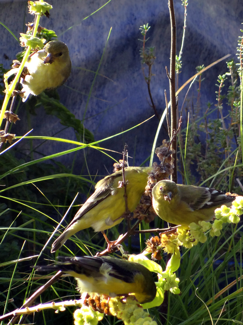 Spinus psaltria (lesser goldfinches)