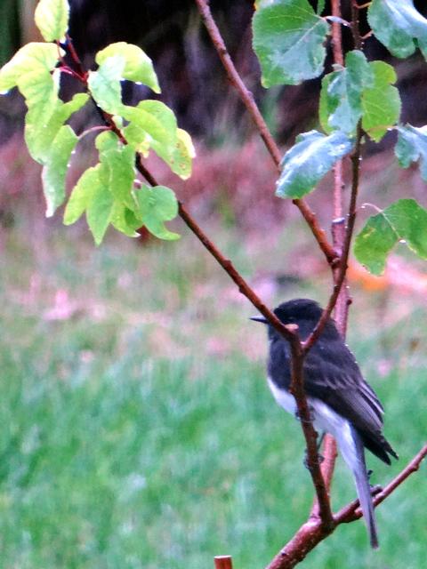 Sayornis nigricans (black phoebe)