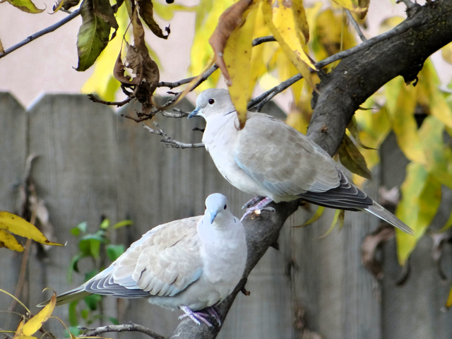 Streptopelia decaocto (Eurasian collared doves)