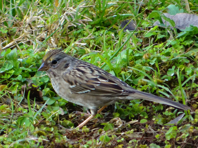 Zonotrichia atricapilla (juvenile golden-crowned sparrow)