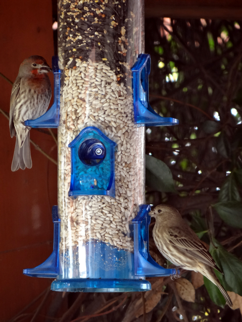 Haemorhous mexicanus (male and female house finches)