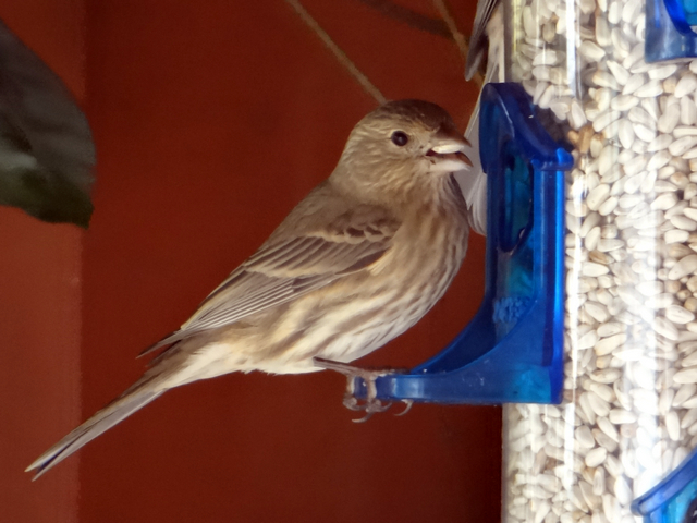 Haemorhous mexicanus (female house finch)