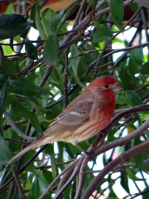 Haemorhous mexicanus (male house finch)