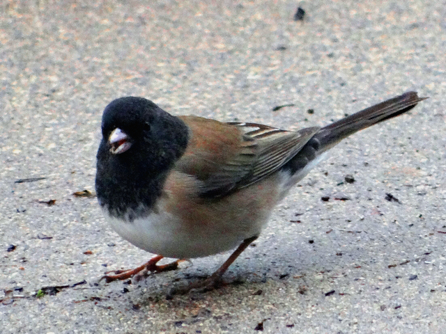 Junco hyemalis (dark-eyed junco)