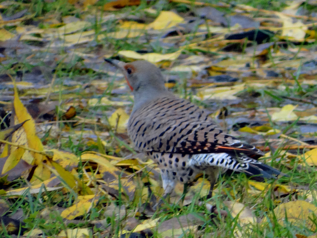 Colaptes auratus (Northern flicker)