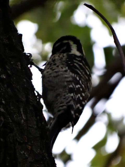 Picoides nuttallii (Nuttall's woodpecker)