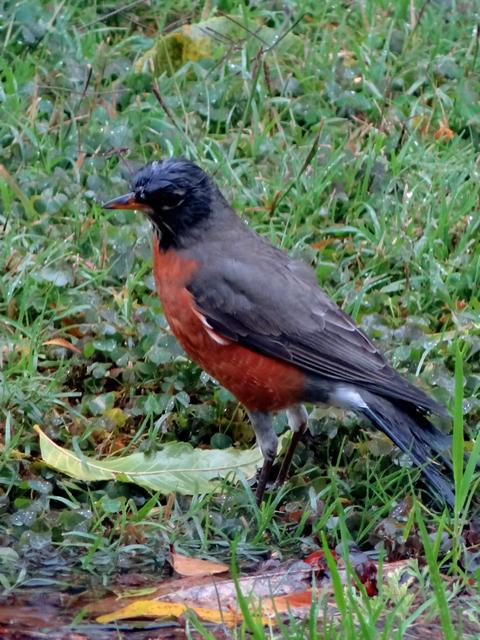 Turdus migratorius (American robin)