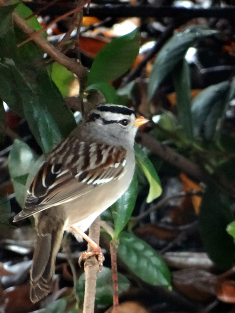 Zonotrichia leucophrys (white-crowned sparrow)