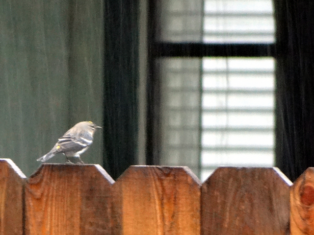 Setophaga coronata (yellow-rumped warbler)