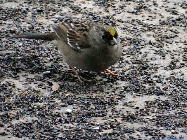 (golden-crowned sparrow)