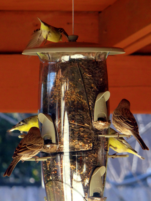 Spinus psaltria (lesser goldfinches) and Haemorhous mexicanus (house finches)