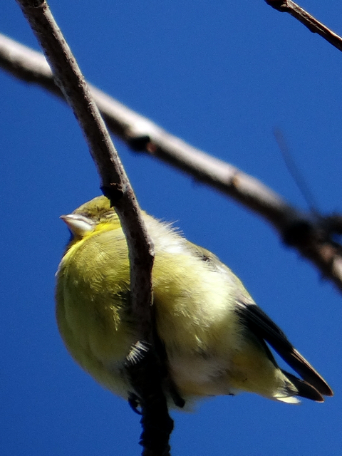 Spinus psaltria (lesser goldfinch)