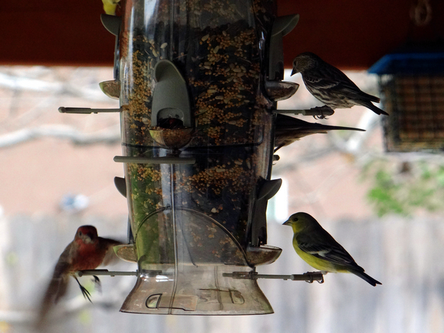 Haemorhous mexicanus (house finch), Spinus pinus (pine siskin), Spinus psaltria (lesser goldfinches)