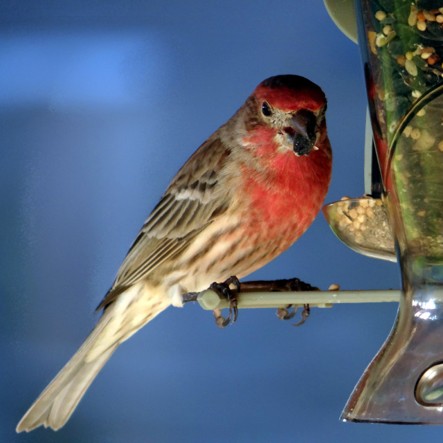 (house finch)