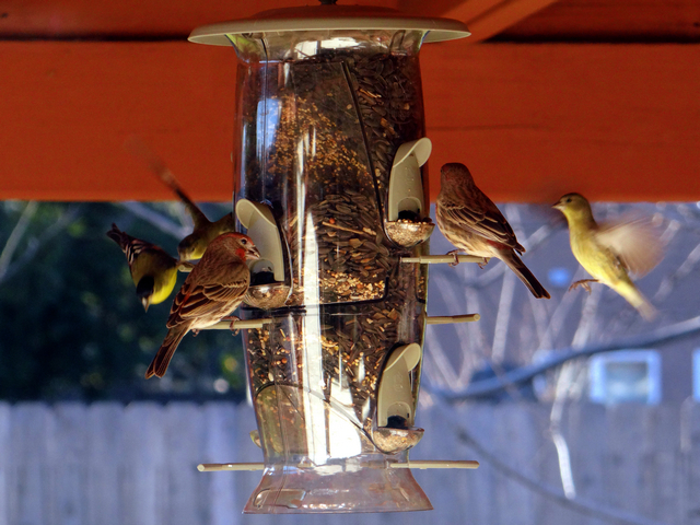 Spinus psaltria (lesser goldfinches) and Haemorhous mexicanus (male house finches)