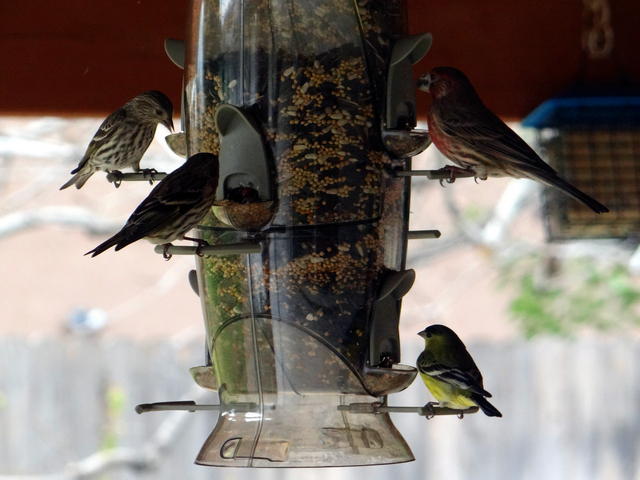 Spinus pinus (pine siskins), Haemorhous mexicanus (house finch), Spinus psaltria (lesser goldfinch)