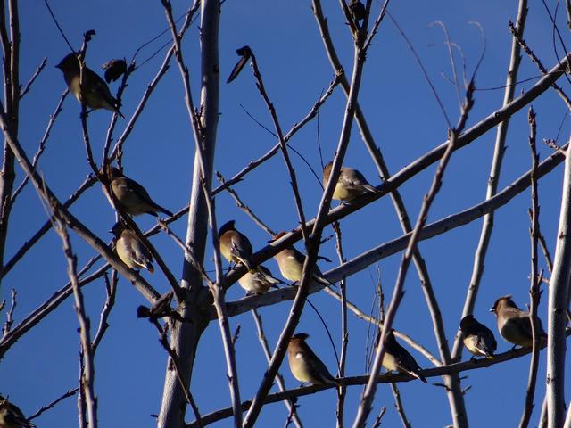 Bombycilla cedrorum (cedar waxwings)