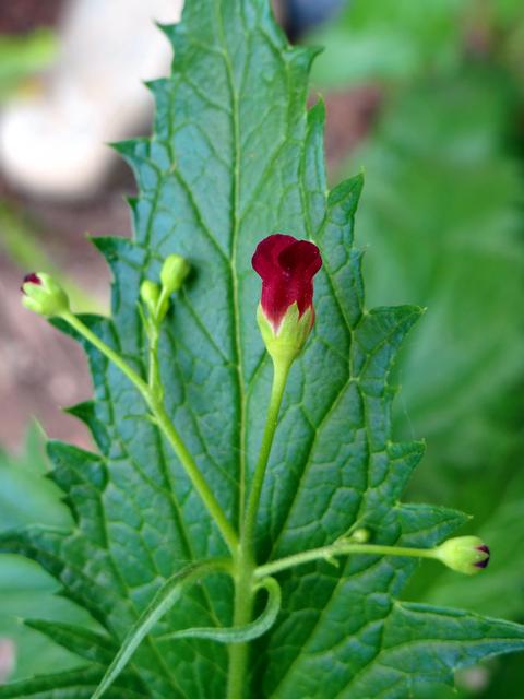 Scrophularia californica (California figwort)