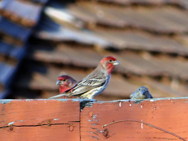 Haemorhous mexicanus (house finches)