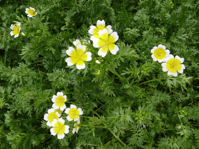 Limnanthes douglasii (Douglas meadowfoam)
