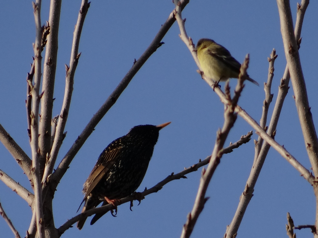Sturnus vulgaris (European starling) and Carduelis psaltria (lesser goldfinch)
