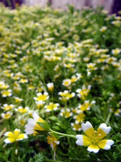 meadowfoamfield.jpg