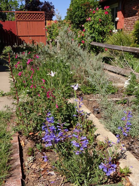 Penstemon heterophyllus 'Blue Springs' (foothill beardtongue), Penstemon pseudospectabilis (desert beardtongue), Iris reticulata (dwarf iris), Rosa sp. (roses), April 2015.