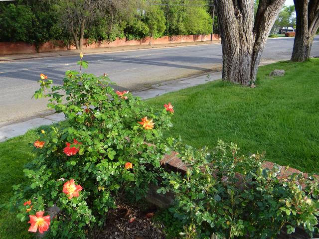 Rosa 'Peace' (peace rose)