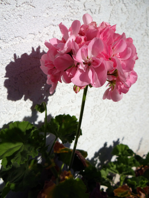 Pelargonium × hortorum (garden geranium)