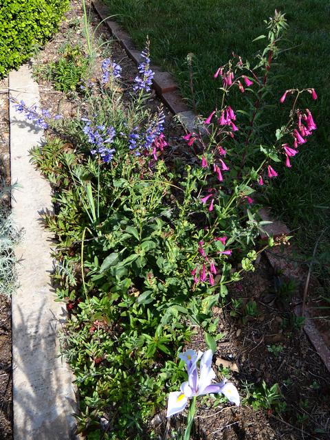 Penstemon pseudospectabilis (desert beardtongue), Penstemon heterophyllus 'Blue Springs' (foothill beardtongue), Iris reticulata (dwarf iris)