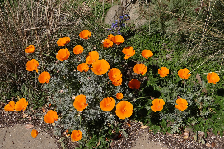 Eschscholzia californica (California poppy), Penstemon heterophyllus 'Blue Springs' (foothill beardtongue)