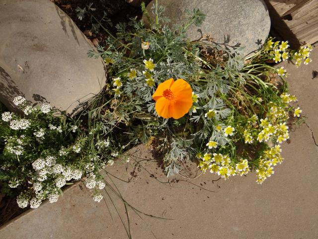 Eschscholzia caifornica (California poppy), Limnanthes douglasii (Douglas' meadowfoam), Lobularia maritima (sweet alyssum)