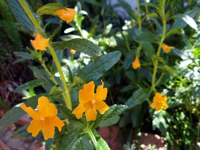 Mimulus aurantiacus 'Point Molate' (sticky monkeyflower)