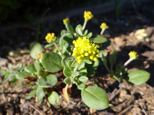 Eriogonum umbellatum 'Proliferum' (sulfur buckwheat)