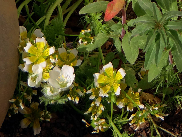 Limnanthes alba (white meadowfoam) and Limnanthes douglasii (Douglas' meadowfoam)
