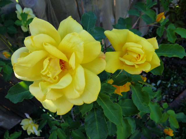 Rosa sp. (roses)