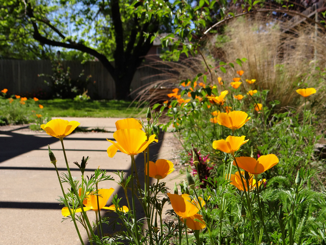 Eschscholzia californica (California poppies)