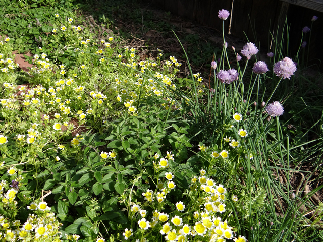 Allium schoenoprasum (chives), Limnanthes douglasii (Douglas' meadowfoam), Origanum vulgare (common oregano)