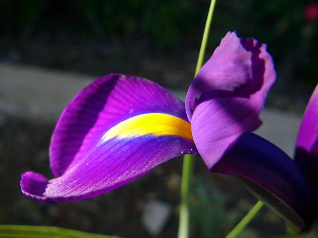 Iris reticulata (dwarf iris)