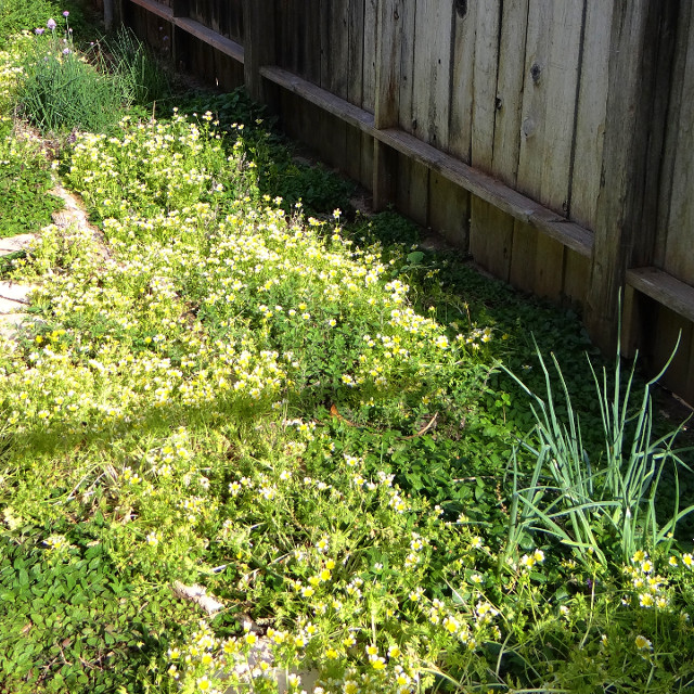 Limnanthes douglasii (Douglas' meadowfoam) and Allium schoenoprasum (chives), April 2015.