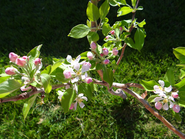Malus domestica 'Gala' (apple)