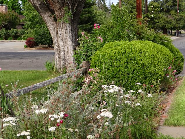 Achillea millefolium (yarrow)