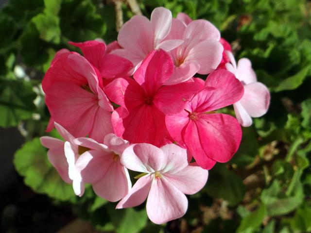 Pelargonium x hortorum (garden geranium)