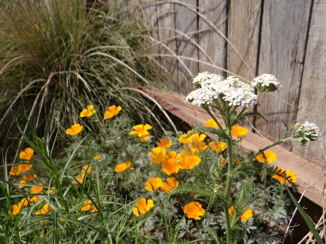 Eschscholzia californica (California poppy), Achillea millefolium (yarrow), Muhlenbergia rigens (deergrass)