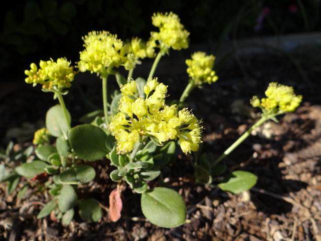 Eriogonum umbellatum (sulfur buckwheat)