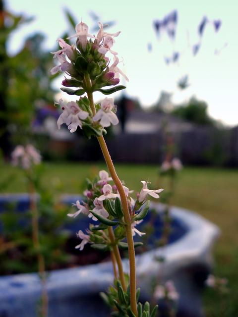 Thymus vulgaris (common thyme)