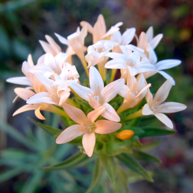 Collomia grandiflora (large-flowered mountain trumpet)